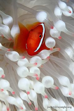 Clown fish in white = Reblogged from the-natural-world-deactivated20 -  Posted by ayustar - Layang Layang - Malaysia - Premnas biaculeatus in Entacmaea quadricolor