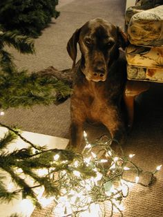 Our GSP Louie helping decorate the tree.