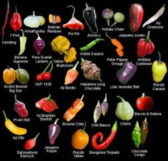 Vargas Pepper Fact: Amongst edible varieties, there are 5 great families of peppers. The most common are Capsicum annuum, the family which includes. Worlds Hottest Pepper, Hottest Chili Pepper, Fruit And Veg, Fruits And Veggies, Vegetables, Pepper Benefits, Chile Picante, Types Of Peppers, Chilli Plant