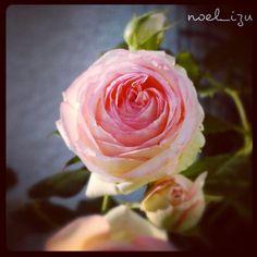 詩人の名前なんだね。これもまた、丈夫なバラで、ありがたい✨ #rose #flower ##nature #garden #izu #japan#Phonto - @noel_izu- #webstagram
