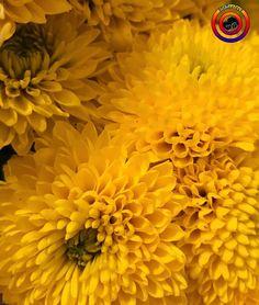 "9 Beğenme, 2 Yorum - Instagram'da @fotoselect (@fotoselect): ""#fotoselect #kasimpati #makro #macro #cicekler #flowers #flowerstagram #doğa #nature #iphone7plus"""