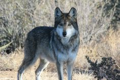 Imado the Mexican Grey Wolf is part of the Species Survival Plan, a breeding program for this endangered species.