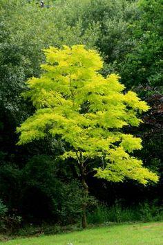 Gleditsia triacanthos (gouden christusdoorn) 20m mooie herfstverkleuring,zonnigeplaats,var; Inerbis zonder doorns, komt laat in blad, goede schaduwboom