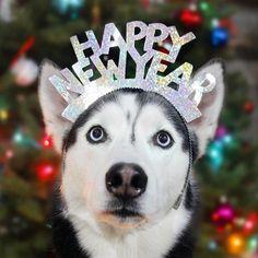 Wonderful All About The Siberian Husky Ideas. Prodigious All About The Siberian Husky Ideas. I Love Dogs, Puppy Love, Cute Dogs, Dog Photos, Dog Pictures, Happy New Year Dog, Siberian Cat, Siberian Huskies, Alaskan Husky