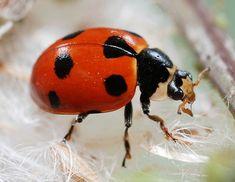 http://i.livescience.com/images/i/18630/original/ladybug.JPG