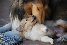 collie mom and puppies - Google Search