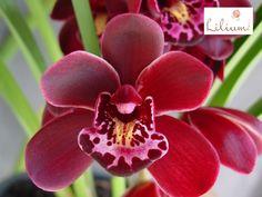 LOS MEJORES ARREGLOS FLORALES A DOMICILIO. Las orquídeas son calificadas como las flores más hermosas de mundo y no es de extrañarse ya que gracias a su peculiar estética y a sus más de 30 mil especies, se les puede encontrar prácticamente de todos los colores. Esta flor es considerada uno de los mejores regalos, ya que al obsequiar una, si se le dan los cuidados adecuados, puede durar toda la vida. En Lilium contamos con hermosos diseños elaborados con orquídeas, le invitamos a conocer los…