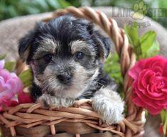 #Morkie #Charming #PinterestPuppies #PuppiesOfPinterest #Puppy #Puppies #Pups #Pup #Funloving #Sweet #PuppyLove #Cute #Cuddly #Adorable #ForTheLoveOfADog #MansBestFriend #Animals #Dog #Pet #Pets #ChildrenFriendly #PuppyandChildren #ChildandPuppy #LancasterPuppies www.LancasterPuppies.com Morkie Puppies For Sale, Lancaster Puppies, Us Vets, Animals Dog, Mans Best Friend, Puppy Love, Cuddling, Pets, Children