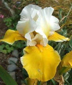 watercolor of yellow and white iris flowers - Yahoo Image Search Results