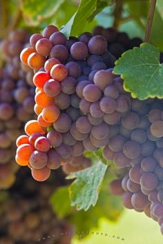 Photo of a cluster of grapes, the variety of fruit used in making Gewurztraminer wines.