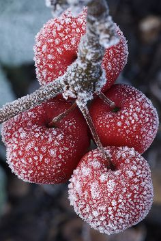 seasonsschange: Frost on the crab-apples - By Steven House Photography