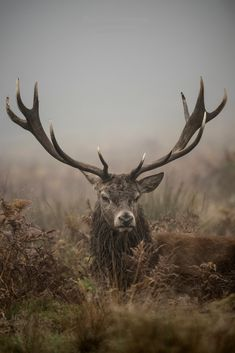 """beautiful-wildlife: """" The King of Richmond Park by Jan Mewald """" Nature Animals, Animals And Pets, Cute Animals, Wildlife Photography, Animal Photography, Beautiful Creatures, Animals Beautiful, Hirsch Silhouette, Hirsch Tattoo"""