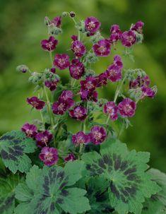 Mourning widow 'Samobor' • Geranium phaeum 'Samobor' • Dusky ...