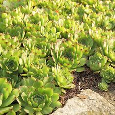 Whether they're low and sleek or tall and blousy, groundcover plants do just what they say they will. Dependable and hardworking, these plants solve many landscape problems./