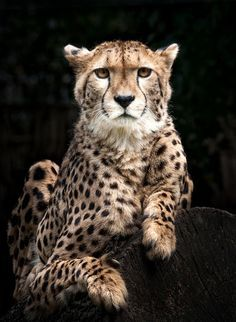 Cheetah is beautiful!