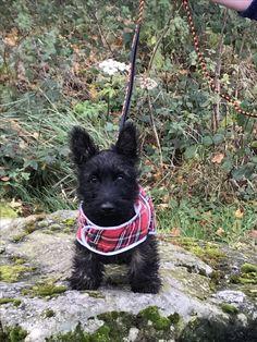 Dougal - Posing in his new coat