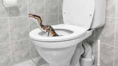 Fox News Horrified Family Finds Huge Python Coiled In Toilet
