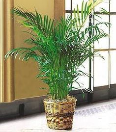 Areca Palm A Showy Plant That Will E Up Any Room Air Cleaning Plants