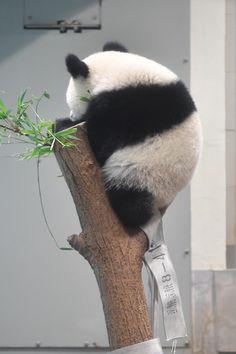 今日のパンダ(2197日目) | 毎日パンダ
