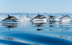 Dolphins in Sea Wallpaper - http://www.56pic.com/animals-birds/dolphins-in-sea-wallpaper/