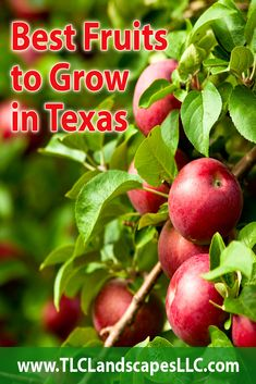 The Best Fruits To Grow In Texas Texas has vast and varied lands spread out almost 270 thousand square miles From tropical southern valleys to lush forests in the east an. Planting Fruit Trees, Growing Fruit Trees, Fruit Plants, Planting Vegetables, Edible Plants, Fruit Garden, Growing Herbs, Edible Garden, Growing Vegetables