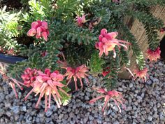 hummingbird butterfly garden plants california - Google Search If you want a drought tolerant low spreading groundcover to attract hummingbirds plant a Wooly grevillea.  I especially like the pinkish-red and cream