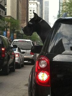 cool 36 Hysterical Great Dane Pictures That Show How Large These Dogs Really Are Source by The post 36 Hysterical Great Dane Pictures That Show How Large These Dogs Really Are appeared first on Levy Pet Supplies. Lap Dogs, Dogs And Puppies, Corgi Puppies, Doggies, Weimaraner, Doberman, I Love Dogs, Cute Dogs, Animals Beautiful