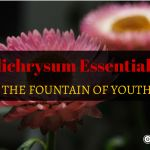 Helichrysum Essential Oil the Fountain of Youth