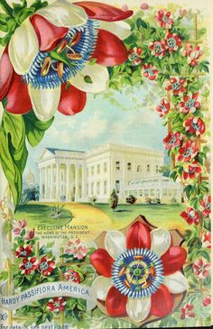 'Hardy Passiflora America' with the Executive Mansion from 'Our New Guide to Rose Culture 1899. The Dingee and Conard Co.