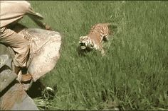 Surprise bengali tiger attack on man on elephant Tiger Attack, Animal Attack, Angry Tiger, Cat Empire, Majestic Horse, Creature Feature, Big Cats, Baby Animals, Scary