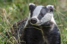 Badger at the British Wildlife Centre