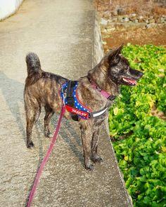 Akita Dog, Beautiful Dogs, Lovers, Bear, Mini, Funny, Cute, Silver, Animals
