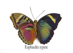 Euphaedra xypete butterfly photograph by:  Darrell Gulin