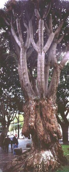 The Dragon Tree of the Canary Islands - a plant survivor from prehistoric times art design landspacing to plant Forest Garden, Tree Forest, Tree Tree, Tenerife, Trees And Shrubs, Trees To Plant, Nature Is Speaking, Dragon Tree, Unique Trees