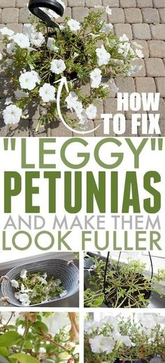Flower Garden Petunias can be some of the most eye-catching summer flowers, but they can also start to look a little sad as the season wears on. Today I'm sharing what to do to fix leggy petunias so they'll look full and beautiful all summer long! Outdoor Plants, Garden Plants, Outdoor Gardens, Flowering Plants, Potted Plants, Outdoor Decor, Container Plants, Container Gardening, Flower Containers