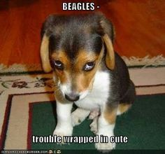 beagle - Google zoeken
