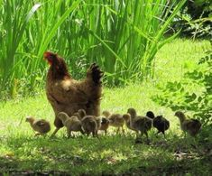 y pollitos What dear mothers are hens!What dear mothers are hens! Farm Animals, Animals And Pets, Cute Animals, Country Life, Country Girls, Country Living, Gallus Gallus Domesticus, Chickens And Roosters, Tier Fotos