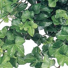 Curly Locks Ivy- One of over 400+ varieties from Exotic Angel Plants®