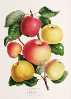 Ronalds, Hugh -- Plate VI -- Fruit, Vegetables and Herbs -- RHS Prints