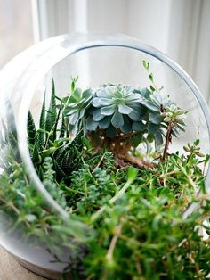 Making a succulent terrarium is an easy and inexpensive project. Succulents are very easy to care for and in a terrarium they look awesome. Mini Terrarium, How To Make Terrariums, Glass Terrarium, Succulent Terrarium, Succulent Plants, Pot Plants, Terrarium Plants, How To Water Succulents, Planting Succulents