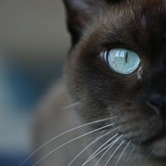 window to the soul by Karin Mueller - peanut, my burmese cat, loves shootings...