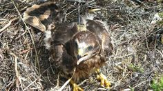 Satellite tagged Aberdeenshire raptor missing in Highlands - grouse moor, yet again.  What a surprise.