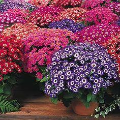 Cineraria Shade Plants