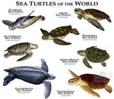 The types of sea turtles. In Oki we see mostly green sea turtles and hawksbills.
