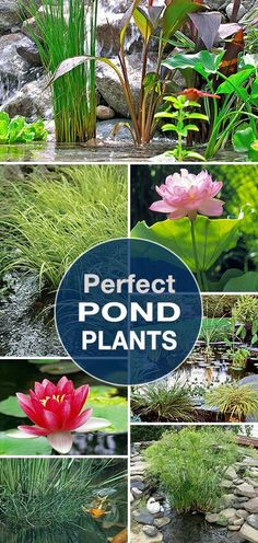 Pond Plants Perfect Pond Plants Lots of tips, ideas and info to help you create that perfect garden pond!Perfect Pond Plants Lots of tips, ideas and info to help you create that perfect garden pond! Outdoor Ponds, Ponds Backyard, Koi Ponds, Water Plants For Ponds, Water Garden Plants, Patio Pond, Garden Grass, Fun Backyard, Garden Bulbs