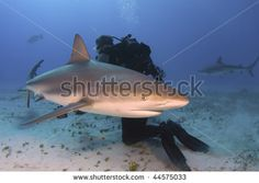 stock photo : A Caribbean reef shark making a close pass at a diver.  Photo by Greg Amptman