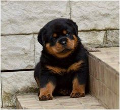 Rott Puppies 25 Days Old Rottweiler Puppies Best Price At New Delhi