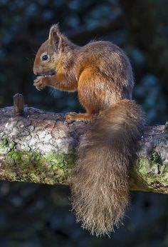 Nature Animals, Animals And Pets, Baby Animals, Cute Animals, Wild Animals, Squirrel Pictures, Animal Pictures, Cute Squirrel, Squirrels