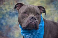 Provo 2 NEUTERED MALE, BLUE / WHITE, PIT BULL MIX, 2 yrs STRAY – STRAY WAIT, NO HOLD Reason STRAY Intake condition UNSPECIFIE Intake Date 12/30/2015, From NY 10301, DueOut Date 01/03/2016, I came in with Group/Litter #K15-043952.