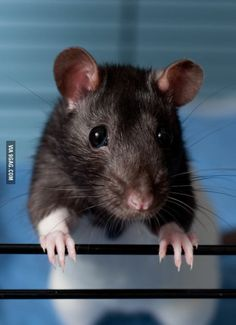 I don't get it why people are terrified of rats..I mean look at him